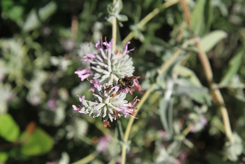 Purple Sage, Salvia leucophylla with bee.