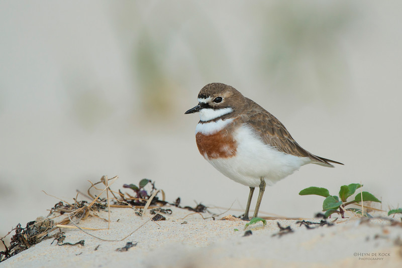 Double-banded Plover, Lake Conjola, NSW, Aug 2013-1.jpg