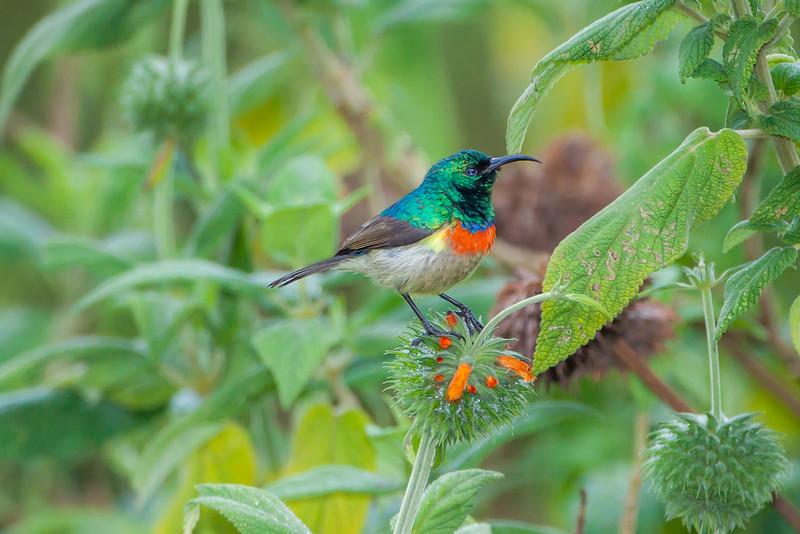 Eastern Double-collared Sunbird (Cinnyris mediocris)