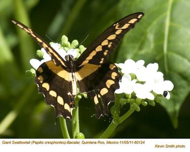 GiantSwallowtail60124.jpg