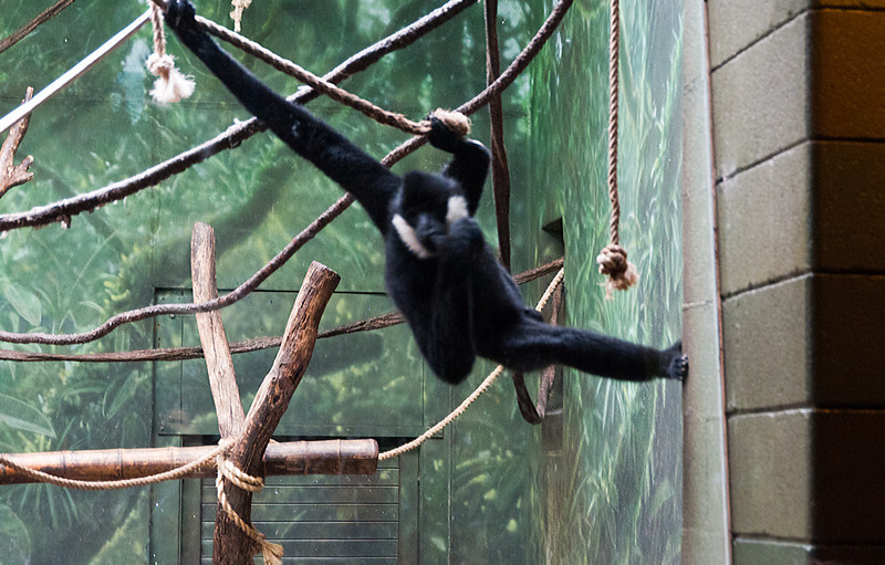 This gibbon was doing some wild swinging and mugging for the visitors.  With the low light, there's no way I could have gotten a photo without blur.  This guy appeared to be something of a ham.
