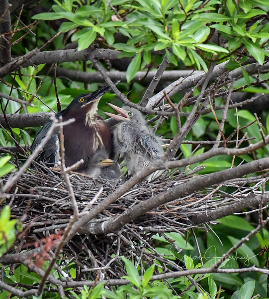 2019061821273257-500_5505 Green Heron parent and two chicks logo.JPG
