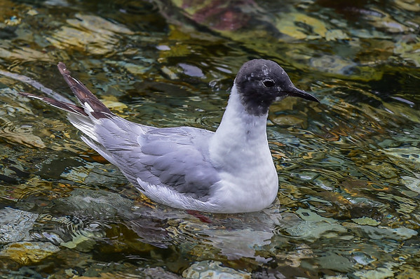 8-08-15 Bonapart's Gull