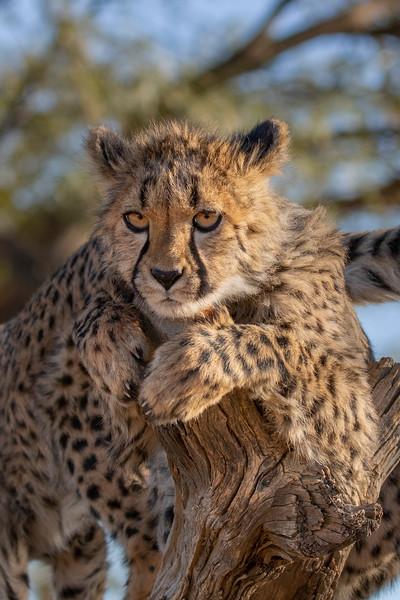 Namibia E4A3744 (Captive).jpg