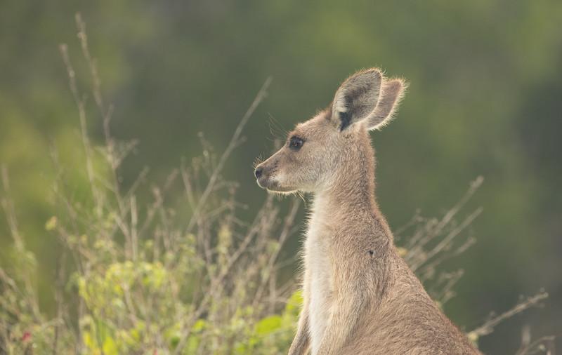 Young eastern grey kangaroo
