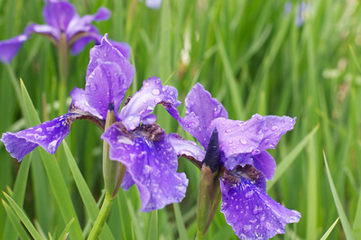 Study of Iris in May Mist