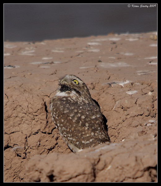 Burrowing Owl, yawning in the afternoon by the lake on the south side of Calipatria State Prison, Salton Sea, Imperial County, California, November 2009