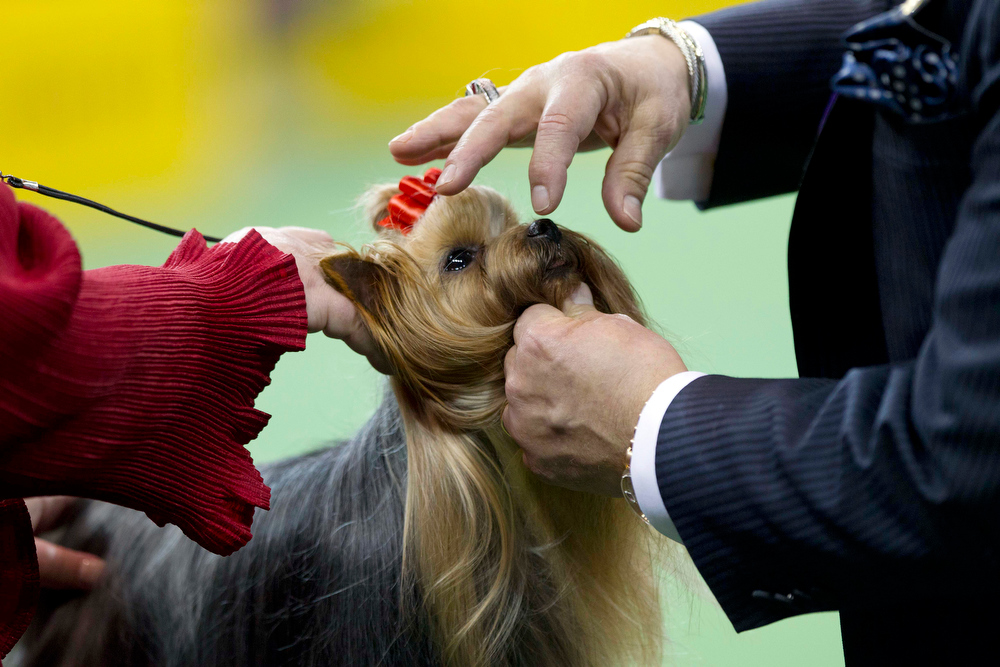Description of . A Yorkshire terrier is judged with the toy group during the Westminster Kennel Club dog show, Monday, Feb. 11, 2013, at Madison Square Garden in New York. (AP Photo/Frank Franklin II)