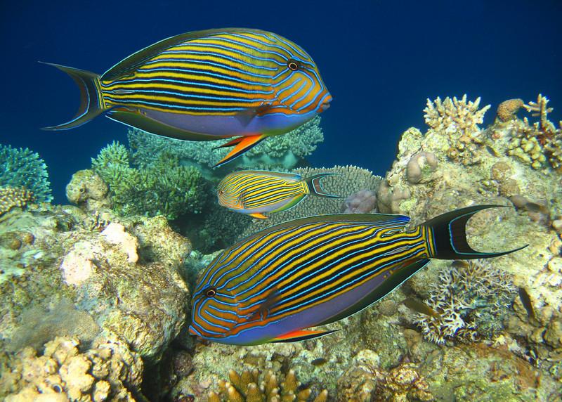 BLUE LINED SURGEONFISH - MALDIVES
