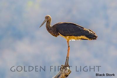 Black Stork, Ranthambhore, India