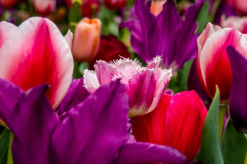 April 19 - Tulips in Washington DC.jpg