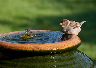 Sparrows Bathing 29/9/11
