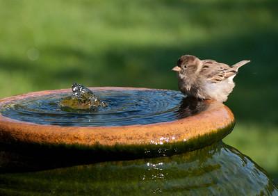 Sparrows Bathing 29/9/11