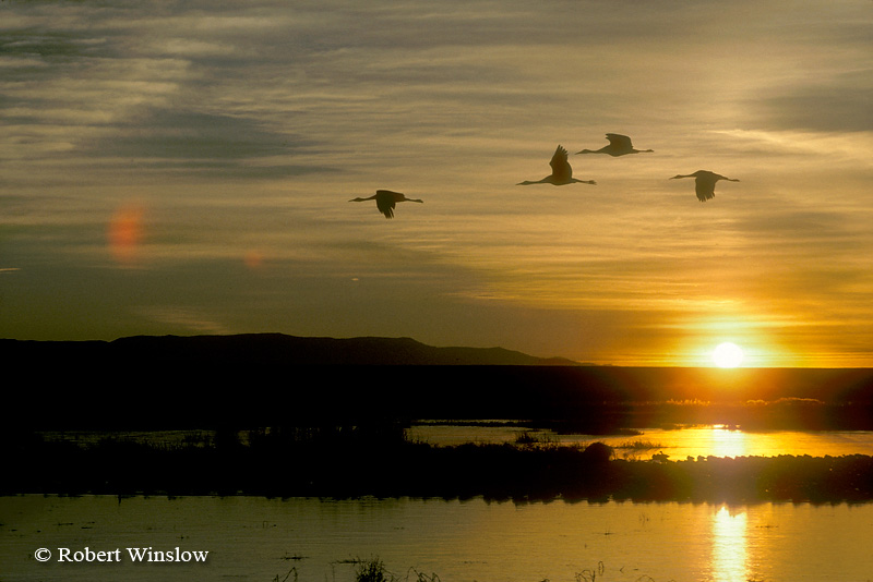 Sandhill Cranes (Grus canadensis) Flying at Sunrise, Bosque del Apache National Wildlife Refuge, New Mexico, USA, North America