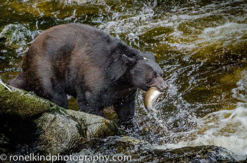 The bears will eat their fill in order to bulk up on food to survive the winter.