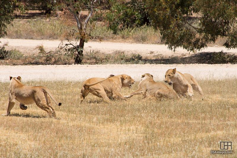 Lionesses having a minor disagreement