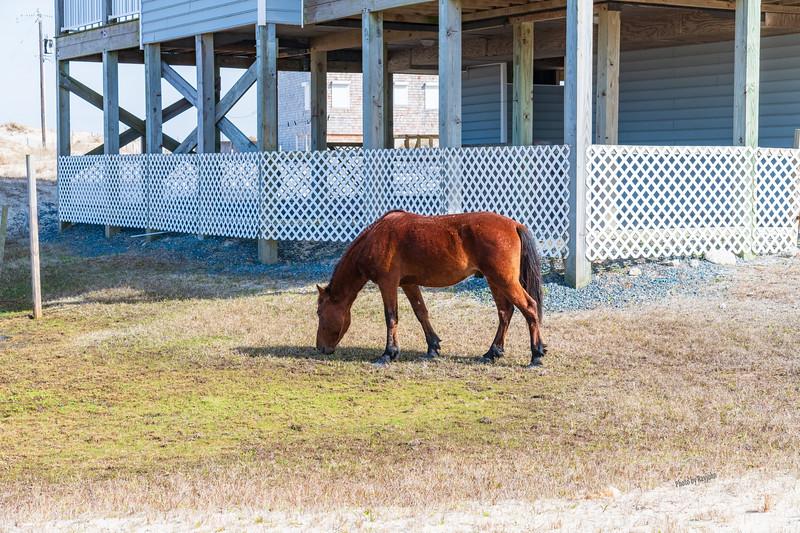 Wild Horses of North Carolina