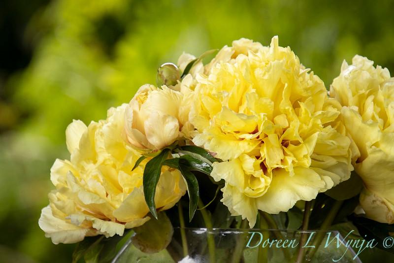 Paeonia x 'Duchesse de Lorraine' - Peony cut flowers_1260.jpg