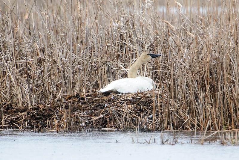 Swan - Trumpeter - on nest - Crex Meadows - Grantsburg, WI