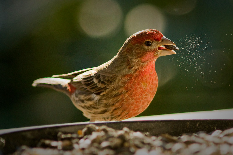 house finch4048adjusted.jpg