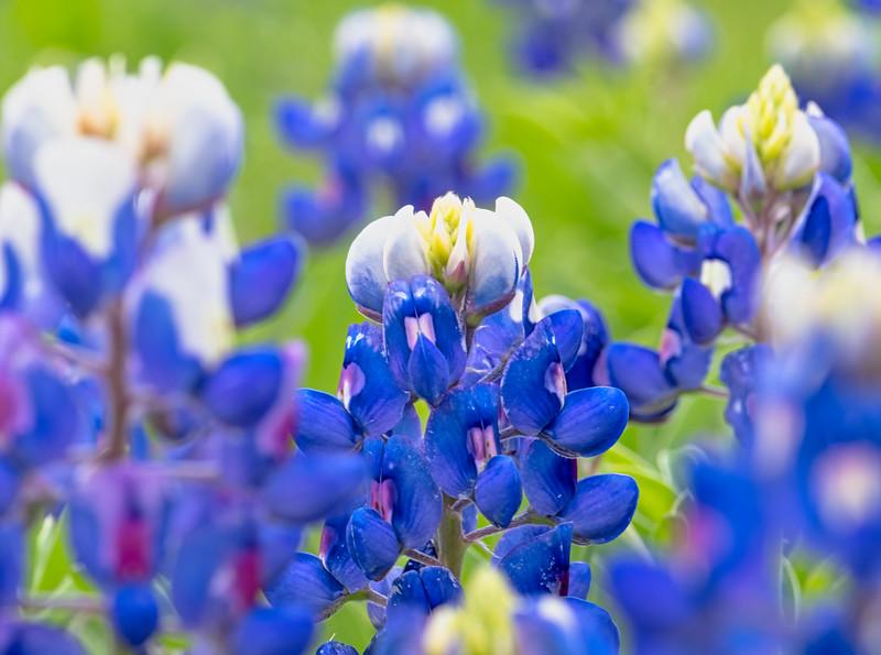 Texas Spring Beauties-2.jpg