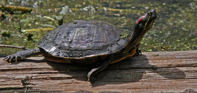 WB~lakemartinsliderturtle1600.jpg