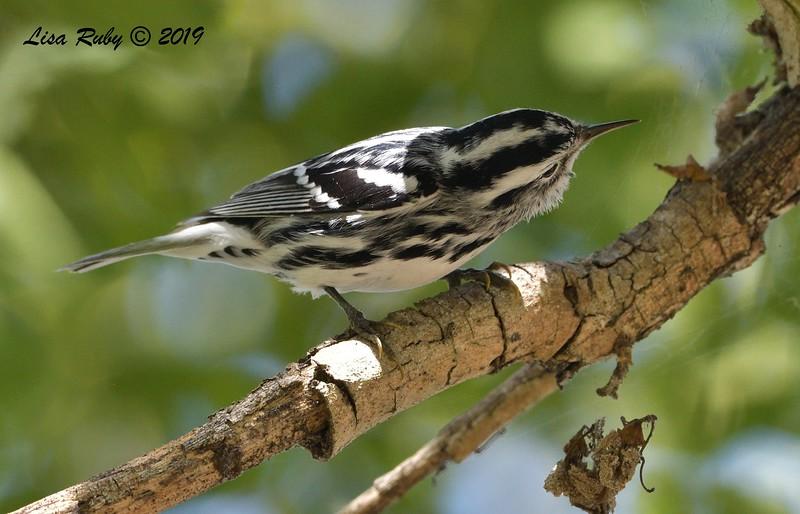 Black-and-white Warbler  - 10/11/2019 - Vacation Isle, Paradise Resort