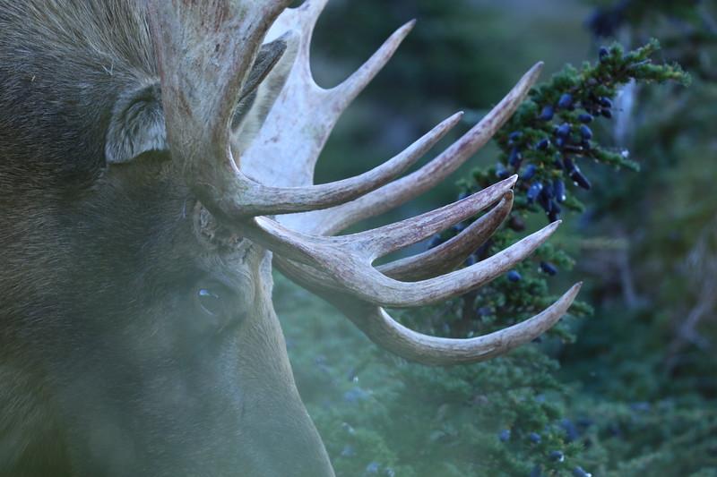 SM Moose 3.JPG