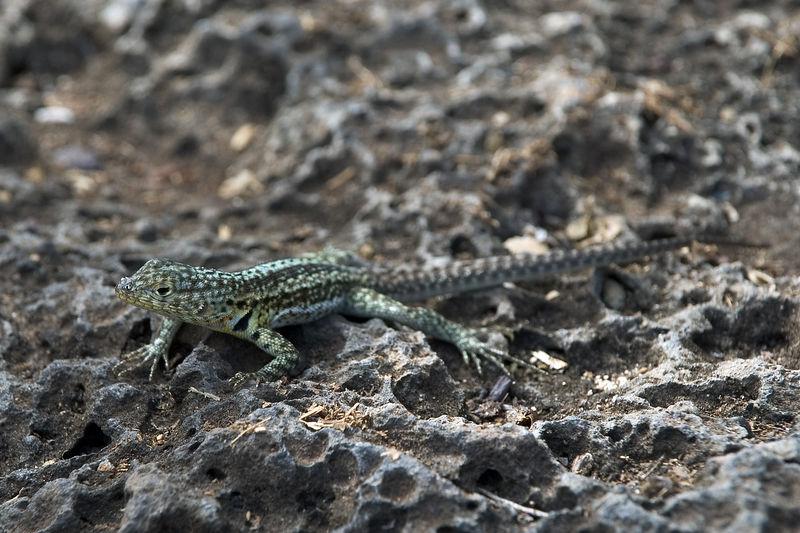 Male lava lizard   (Dec 09, 2005, 02:12pm)