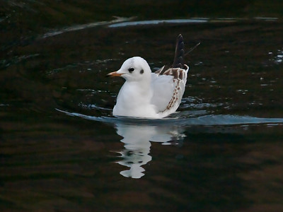 Black-headed Gull Story
