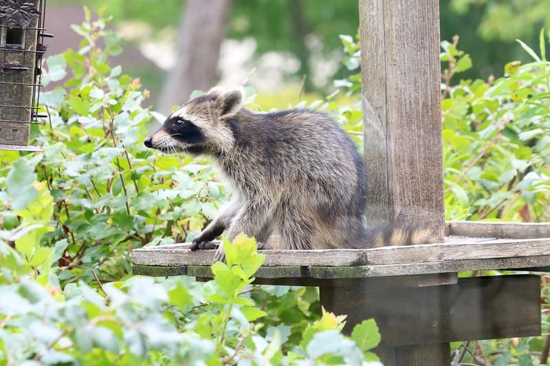 Raccoon @ Columbia Bottom CA