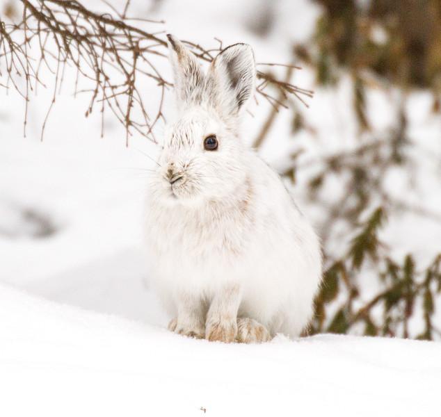Snowshoe Hare Warren Nelson Memorial Bog Sax-Zim Bog MNIMG_0705.jpg