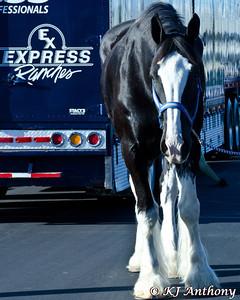 PBR 2013 World Finals Express Clydesdales