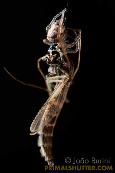 jumping spider feeding on a midge hanging by a web thread
