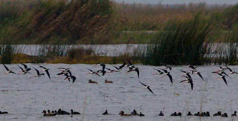Black-necked Stilts on the move-Shoveler Pond.