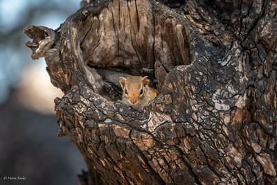 Squirrel, Striped Bush