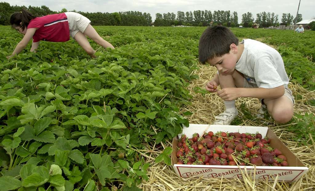 . Must head to one of those pick-your-own farms for strawberries in June because they are so much better than the berries in the grocery store. We�ll gorge ourselves and then make Grandma Bertha�s jam recipe. There are dozens of little farms listed on Minnesota Grown directory, but we�ve made it only to Wyatt�s in Hastings. <p>-- By family activities reporter Maja Beckstrom <p>-- Photo from Pioneer Press files