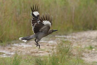 Butcherbirds & allies