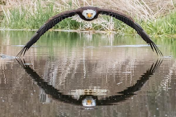 Bruce the Eagle