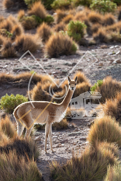 Curious Vicuña in the Bolivian altiplano