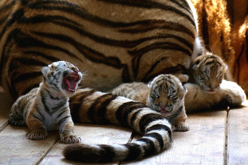 . Three baby tigers stay near their mother at the Siberian Tiger Park in Harbin, capital of northeast China\'s Heilongjiang Province.  More than 100 Siberian tigers, one of the rarest animals, are expected to be born this year at a breeding center in China\'s northeast, an official said Monday.  (AP Photo/Xinhua, Lu Jinbo)