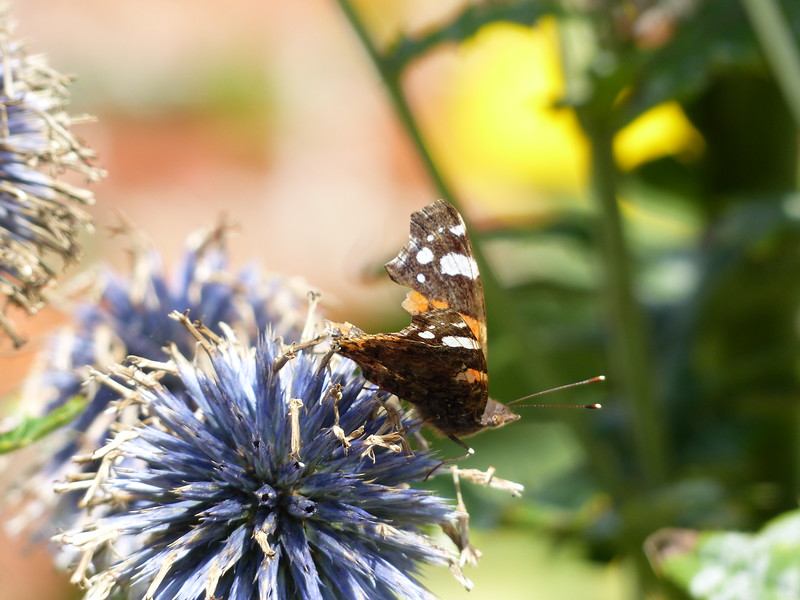 Ragged Red Admiral by Peter