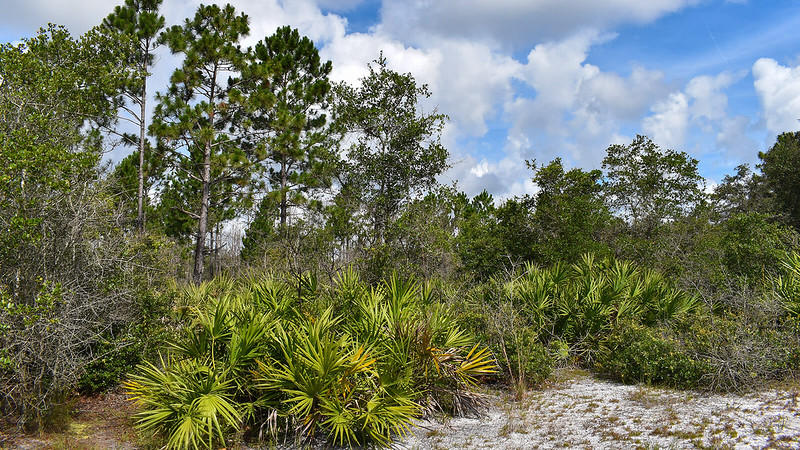 Patch of Florida scrub