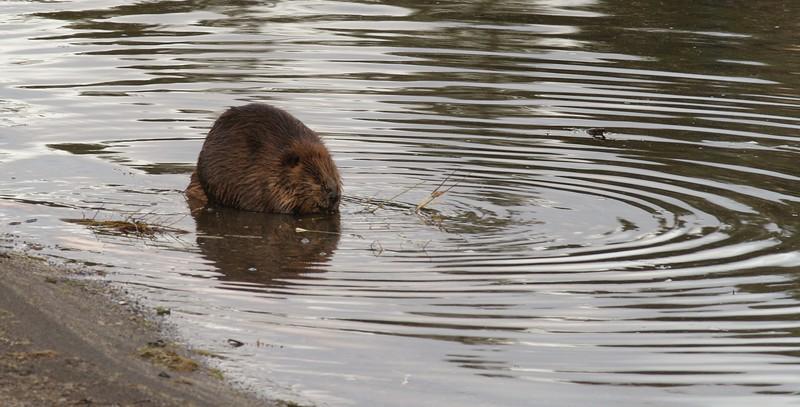 Beaver Yellowstone _MG_3788.jpg