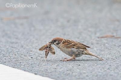 Eurasian Tree Sparrow [Passer montanus]
