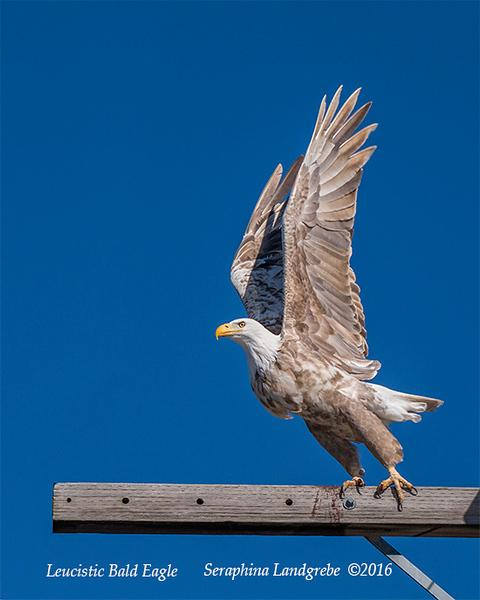 _DSC0318Seraphina Leucistic Bald Eagle.jpg