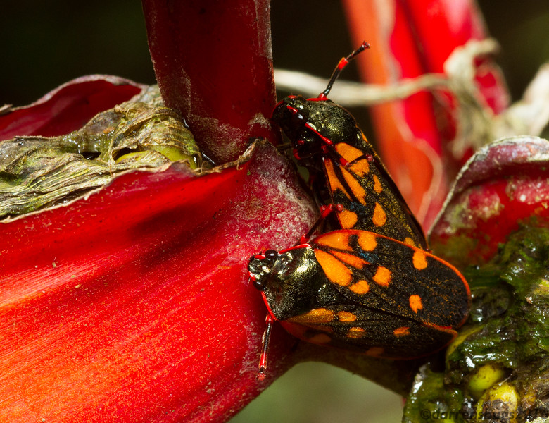 A pair of colorful spittlebugs (Cercopoidea) from Monteverde, Costa Rica.