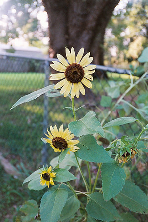 sunflower8