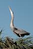 Great Blue Heron Displaying at Viera Wetlands #2 01/14