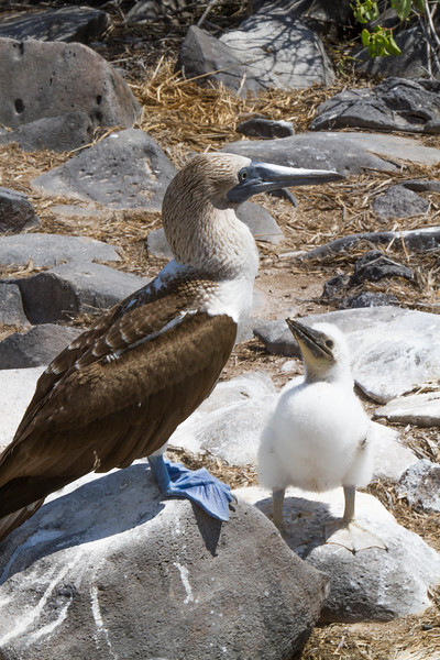 Blue Footed Boobie w Chick 3 at Suarez Point, Espanola.jpg